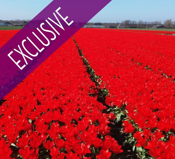 Private tour in Keukenhof and tulip fields