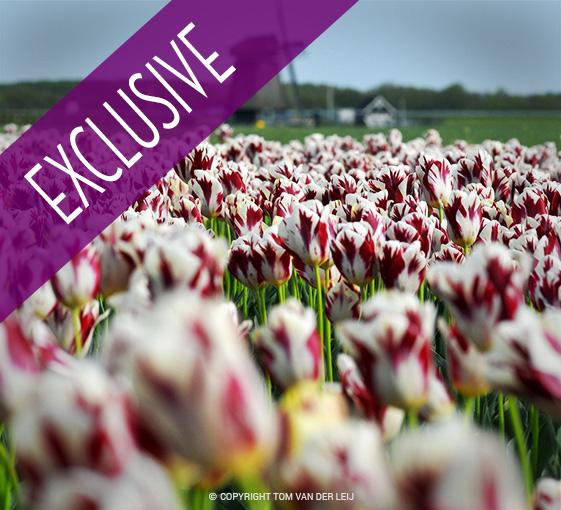 Private cycling tour in the middle of tulip fields