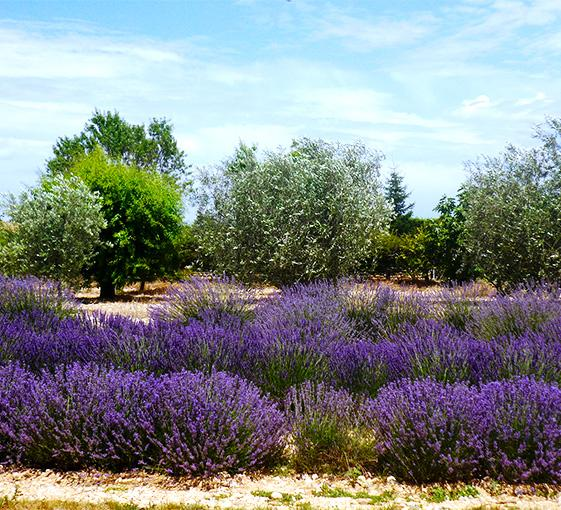 Private lavender tour in Provence